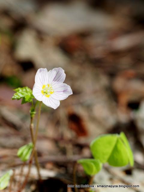 szczaw lesny, kwiatek, kwitnacy szczawik, roslinka, kwiat, jadalne
