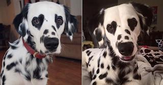 Σκύλος Δαλματίας με σπάνιο τρίχωμα έχει καρδιές γύρω από τα μάτια του - ΕΙΚΟΝΕΣ