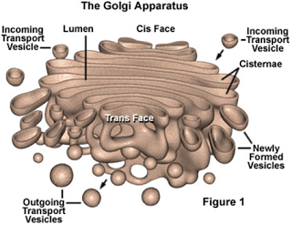 Gambar Badan Golgi
