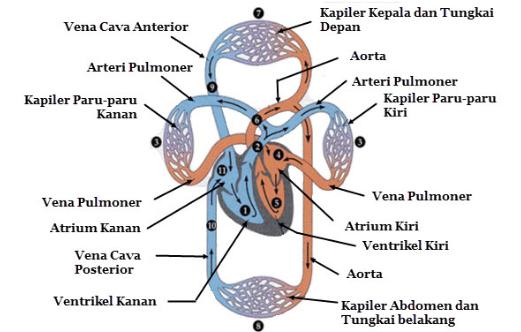 Mekanisme Kerja Jantung Manusia (Peredaran Darah besar dan Kecil)