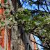 八幡図書館の桜の木々~美しく儚く切ない~