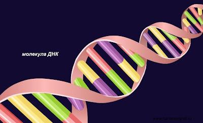 Процесс синтеза белков происходит в организме по строго заданной программе, записанной на особых органических молекулах- ДНК.