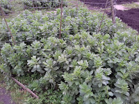 Allotment Growing - Green Manure - Winter Field Beans
