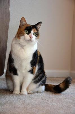 Siamese Cat Adoption Austin