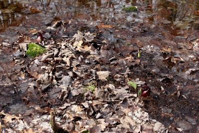 skunk cabbage just emerging on March 31