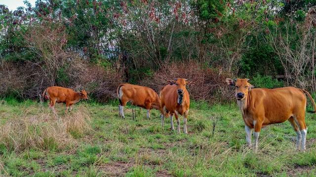 Kawanan sapi
