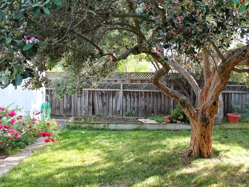 Spring garden 2014: view from back door with pineapple guava tree