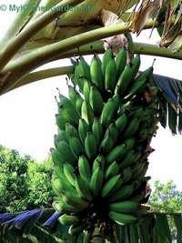 Bananas Growing on a Tree
