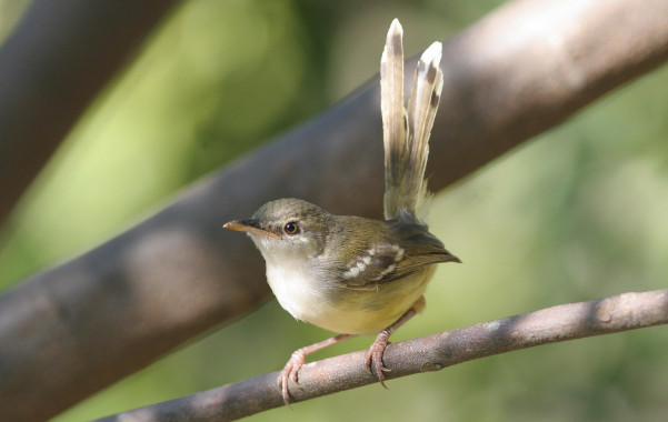 Burung Ciblek / Perenjak