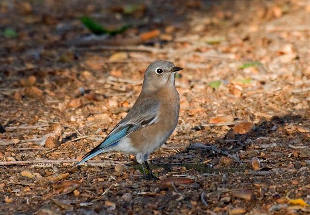 San Diego, California Backyard bird: Western Bluebird