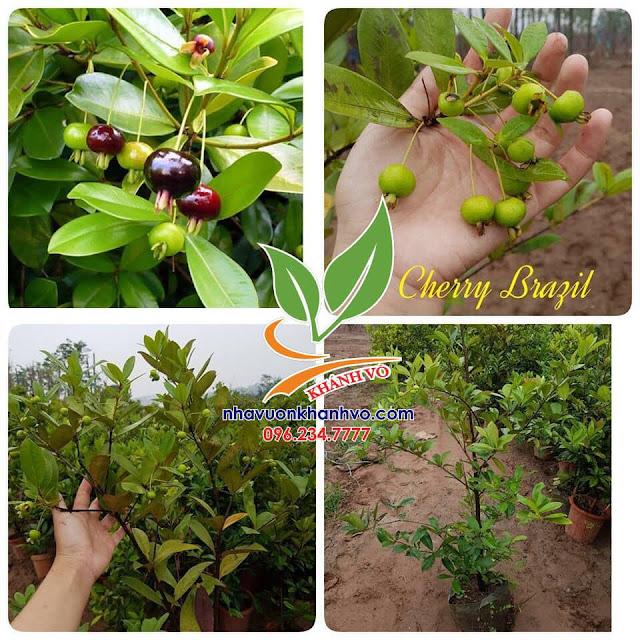 Cherry brazil đã trồng thành công ở Việt Nam 53528438_121466652283332_552875841340571648_n