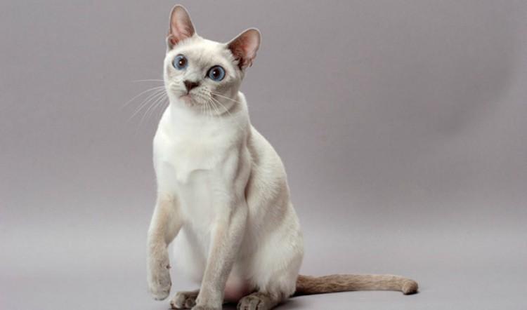 Γάτα Τονκινέζα-Tonkinese