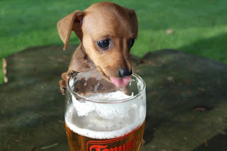 Dachshund puppy trying to drink a glass of beer