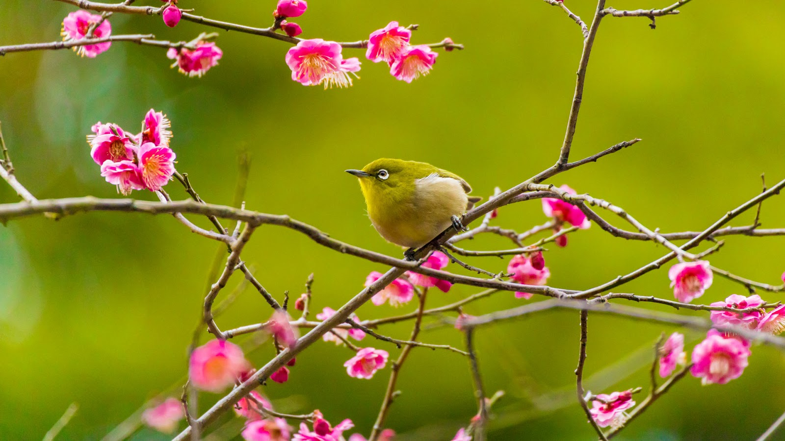 Warbling white-eye among plum blossoms in Yokohama, Japan © e185rpm/Adobe stock