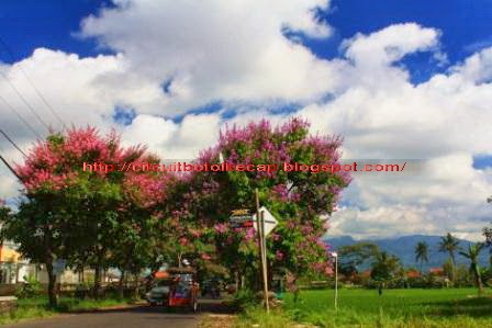 Pohon pelindung sepanjang Jalan Laswi-Kota Tasikmalaya. Nyaman, indah dan teduh