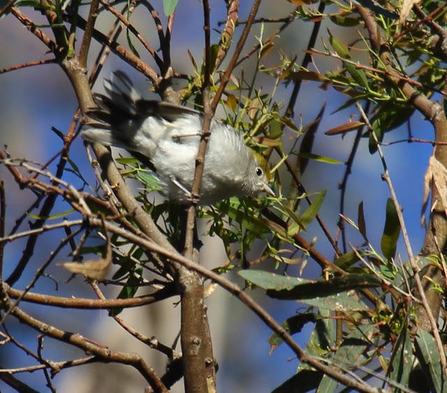 Chestnut-sided Warbler, Carlsbad, California