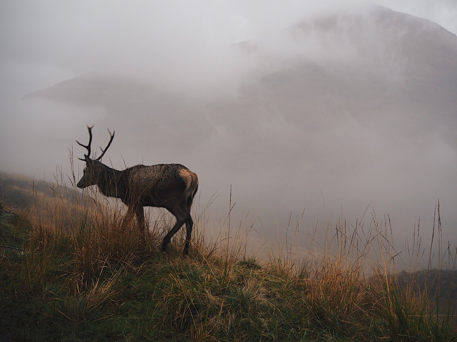 red deer stag glen etive