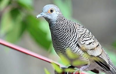 √ download suara burung perkutut lokal dan bangkok gacor mp3.
