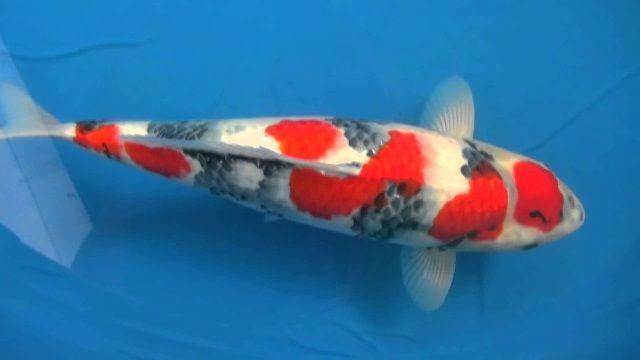 Harga Ikan Koi Termahal