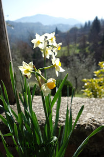 Narcissus or Paperwhites Flowers for February in Tuscany Italy