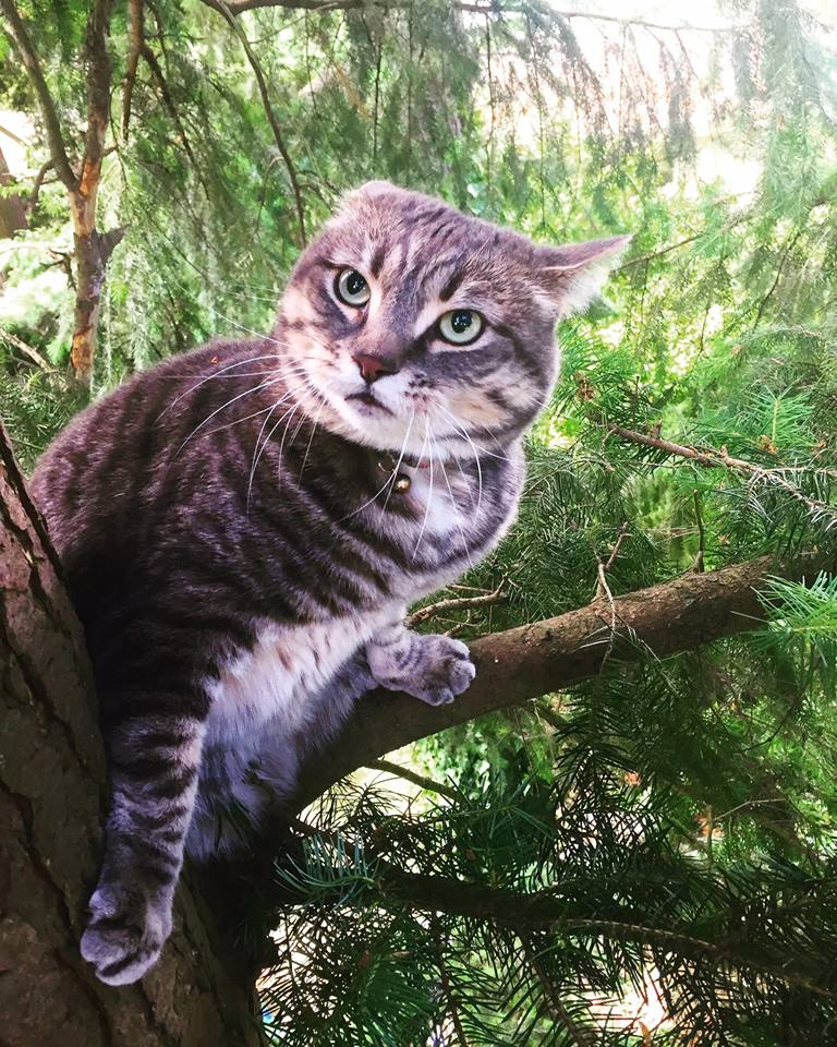 shoreline area news canopy cat rescue gets shoreline cat out of