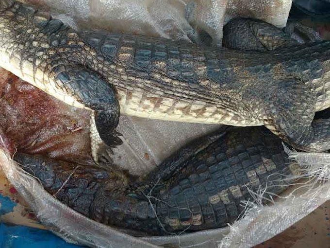 Llevaban dos cocodrilos muertos en un moto taxi