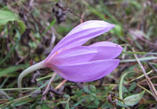 Zimowit jesienny (Colchicum autumnale)