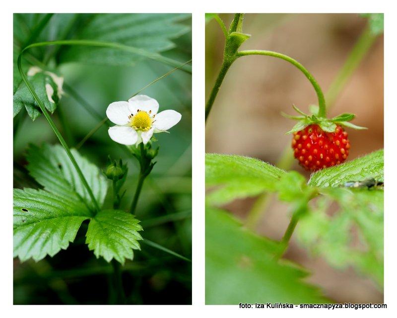 lesne owoce, poziomka, kwiat poziomki, poziomeczki, pierwsza w sezonie