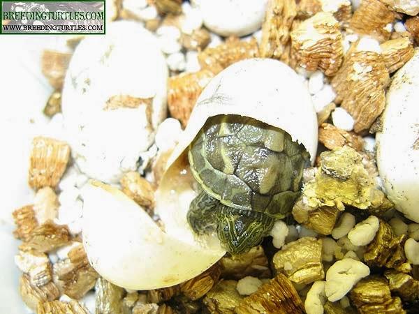 Nacimiento de Ocadia sinensis
