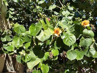 Hibiscus tiliaceus, Majagua