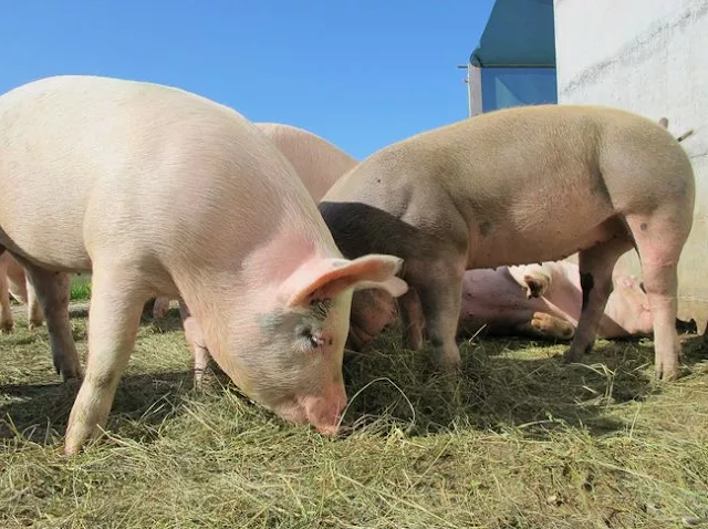 أحد شركات التكنولوجيا الحيوية تعمل على تطوير نقل الأعضاء من الخنازير للبشر