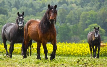 Wallpaper: Black and Brown Horses