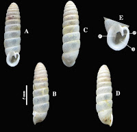 http://sciencythoughts.blogspot.co.uk/2015/11/a-new-species-of-diapherid-snail-from.html