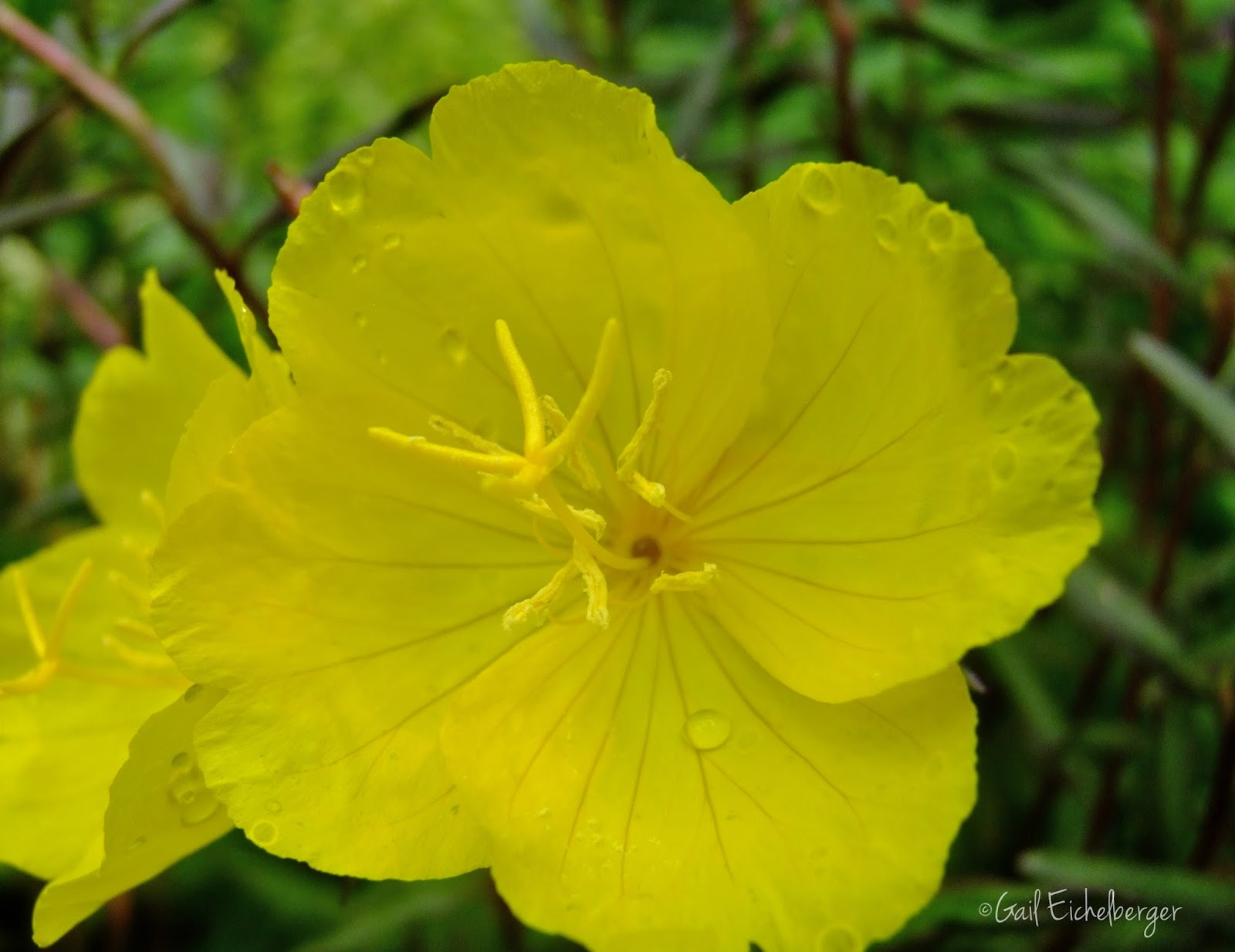 Clay And Limestone Wildflower Wednesday Oenothera Fruticosa