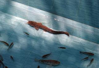 Tahapan dan Cara Pembibitan Ikan Lele Untuk Usaha