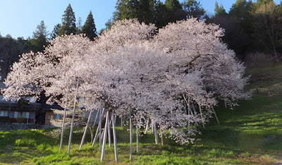 Cerejeira batizada de garyuzakura