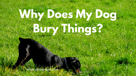 Why Does My Dog Bury Things?