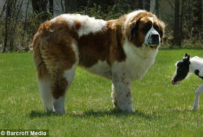 World S Heaviest Dog Benedictine