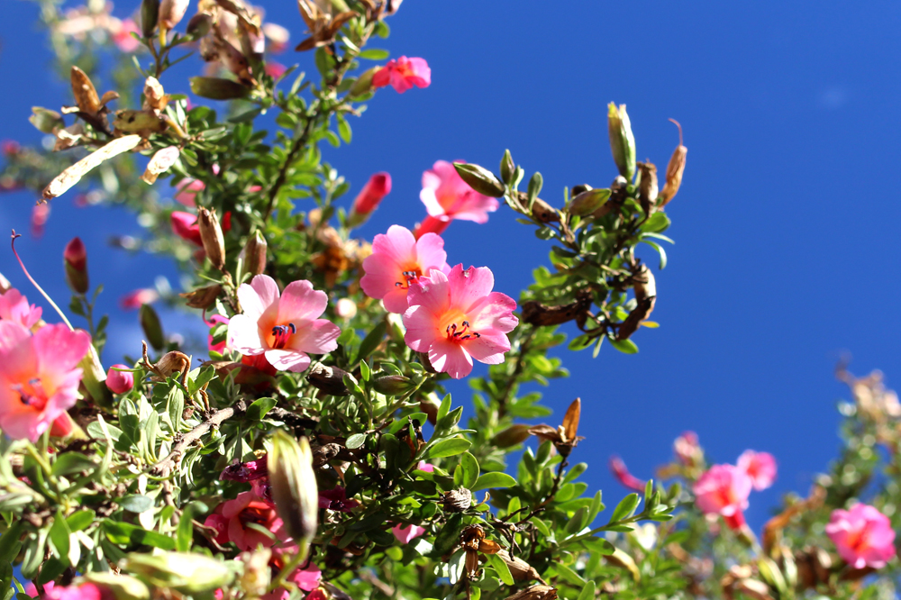 Pink flowers in Cusco, Peru - lifestyle & travel blog