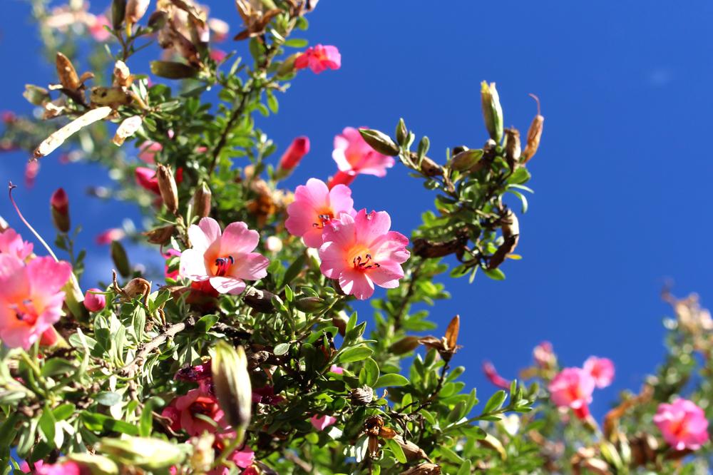Pink flowers in Cusco, Peru - lifestyle & travel blog
