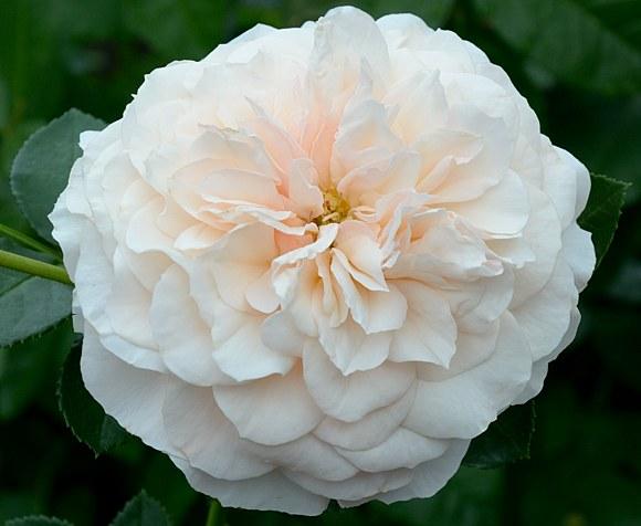 Stephanie Baronin zu Guttenberg сорт розы тантау фото купить саженцы минск питомник