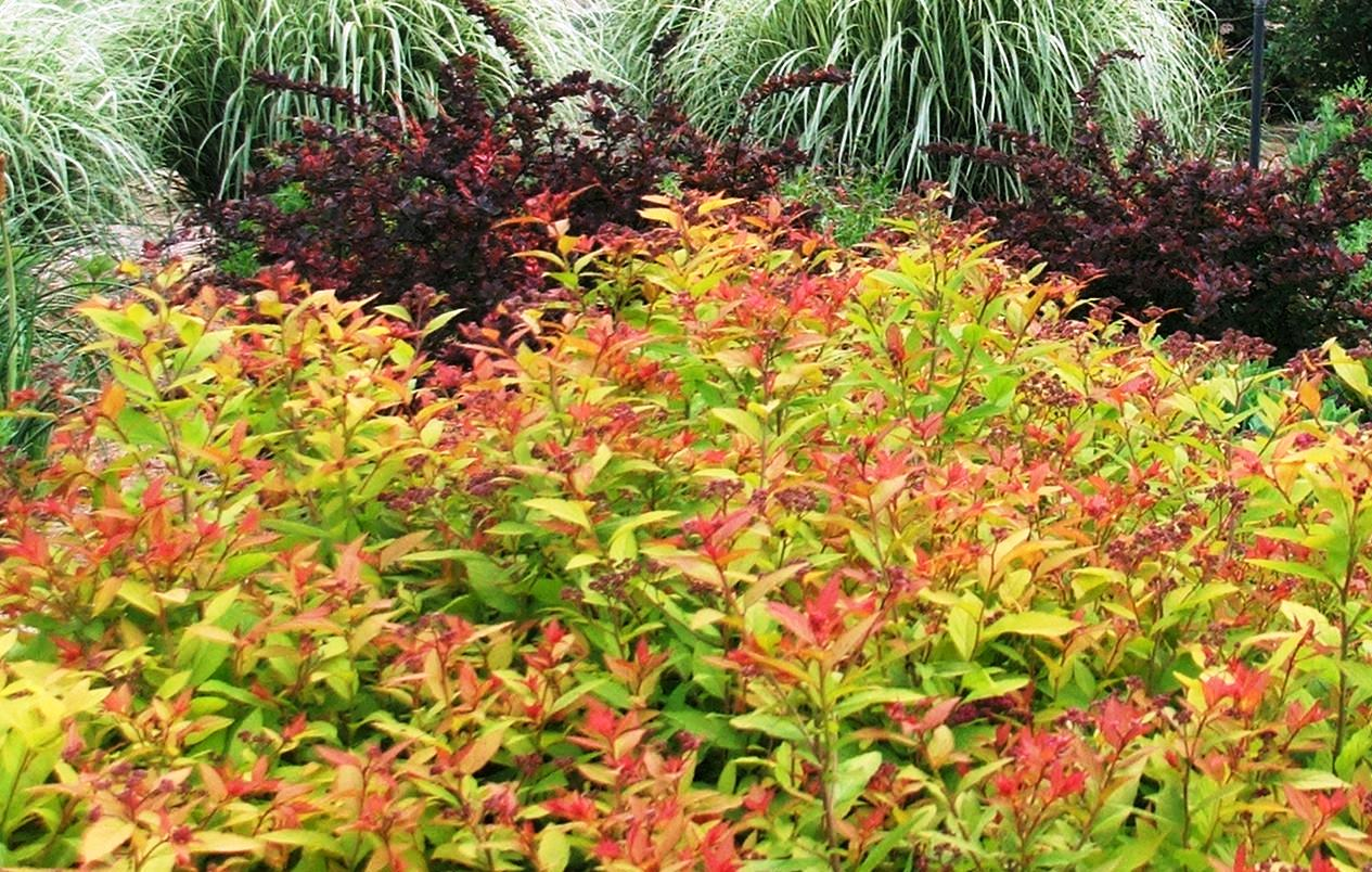 How to grow spiraea japonica 39 goldflame 39 the garden of eaden for Garden shrubs