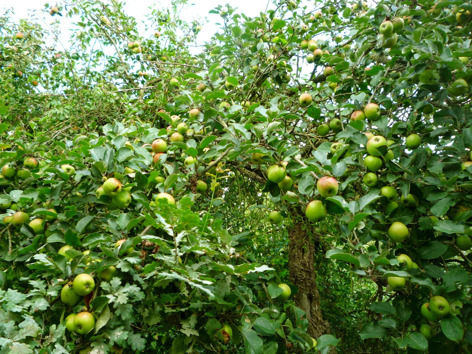 Organic Apple Orchard