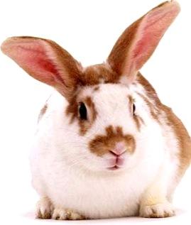 Foto de un conejo colorado