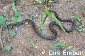 serpientes argentinas Culebra trepadora yungueña Philodryas varius