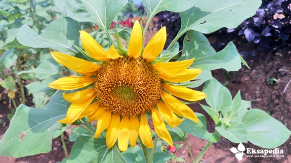 Bunga Matahari Yang Mekar