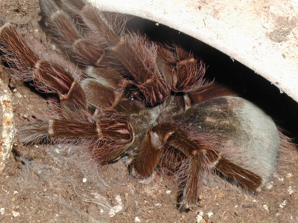 Asian bird eater tarantula