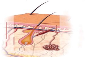 Las fases de crecimiento por las que pasa el pelo en el folículo piloso