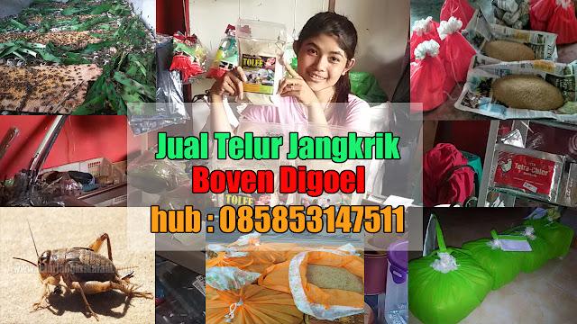 Jual Telur Jangkrik Kabupaten Boven Digoel Hubungi 085853147511