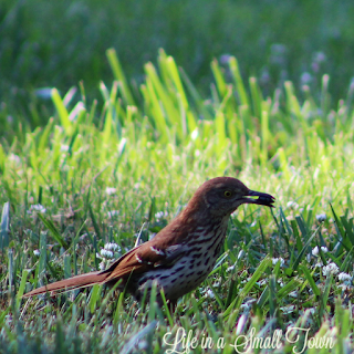 brown bird in the grass with a morsel in its mouth